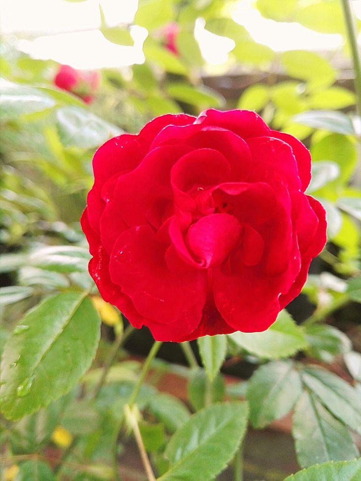 Rosa Polyantha -Ryhmä Mors Dag Rosaceae Polyantharuusu
