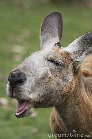 18 besten Kangaroos Bilder auf Pinterest | Kängurus, Lustige bilder ...