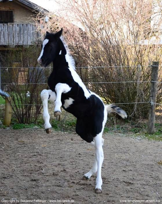 AMAZING #foal black white #horse