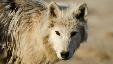Beautiful documentary: Arctic Wolf Pack | About | Nature | PBS