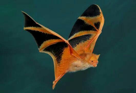 #dailysquee halloween bat! photographer unknown