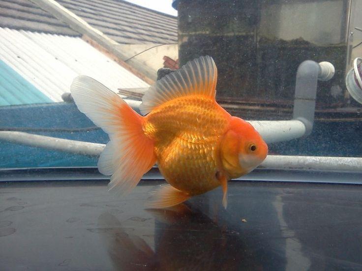 Oranda Gold Fish 32