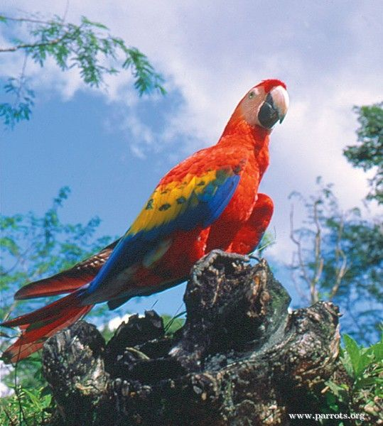 scarlet macaw, scarlet, macaw, bird, birds, #beautiful scarlet macaw, amazing scarlet macaw #scarletmacaw, #scarlet #macaw #bird #birds #beautifulscarletmacaw #amazingscarletmacaw Beautiful Red Animals, red animals, beautiful animals, amazing animals with red, red colored animals, red beast, beast with red, red colored beast, animals red,  Red Panda, Siamese Fighting Fish, Scarlet Macaw, Strawberry Poison Frog, Red Lory,  Red-Veined Darter, Scarlet Ibis, Christmas Island Red Crab, Glass Eye…