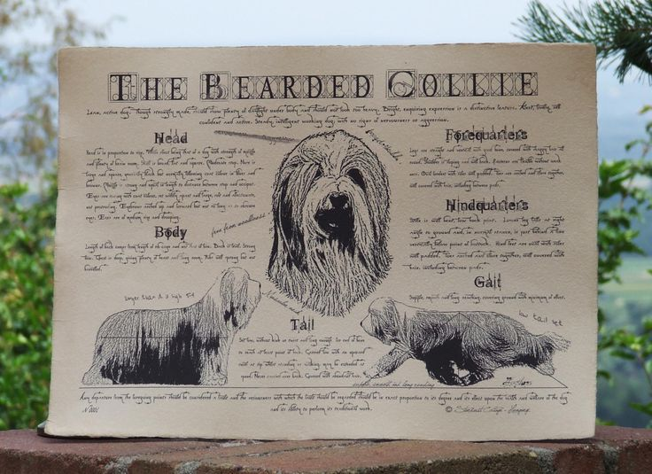 Antique styled dog standard - Bearded Collie by Creativedoglover on Etsy
