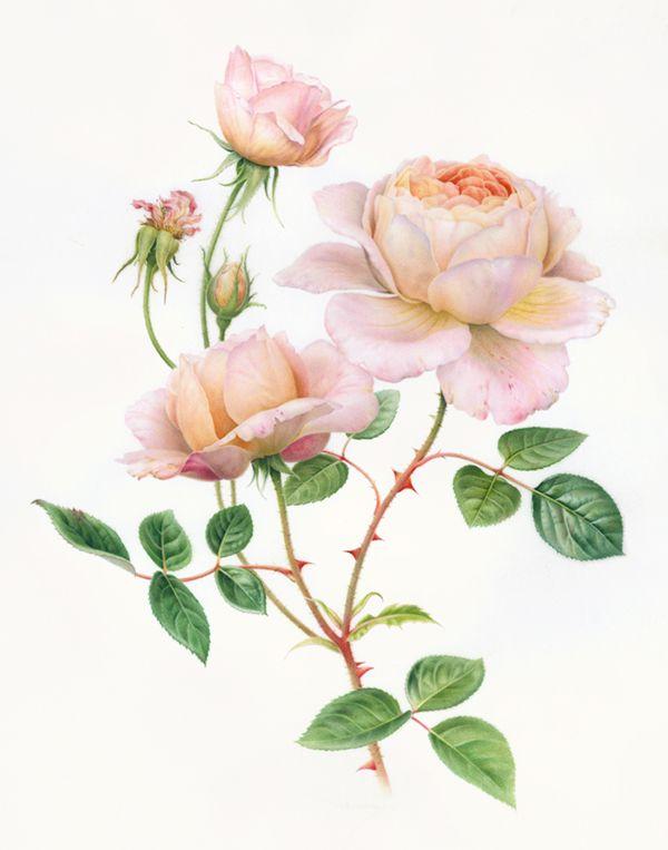 Botanical Images used by Caspari on Behance