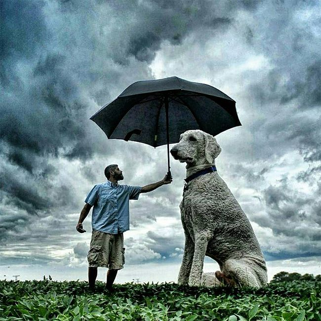 Best The Biggest Dog In The World Images On Pinterest - Guy uses photoshop to turn his miniature dog into a giant