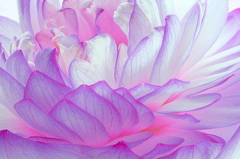wowPhotos, Beautiful Flower, Lotus, Blushes E.L.F., Blushes Flower, Flower Art, Pastel Colors, Blossoms, Purple Flower