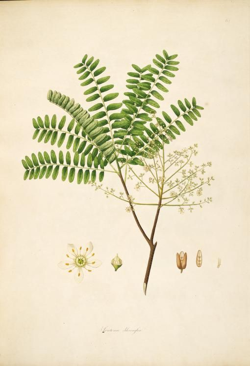 Plants of the coast of Coromandel :selected from drawings and descriptions presented to the hon. court of directors of the East India Company /by William Roxburgh.- 1795 V1