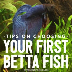 Tips on choosing a betta fish. Where can you buy the best bettas? What should you look out for so that you don't buy an unhealthy betta fish?