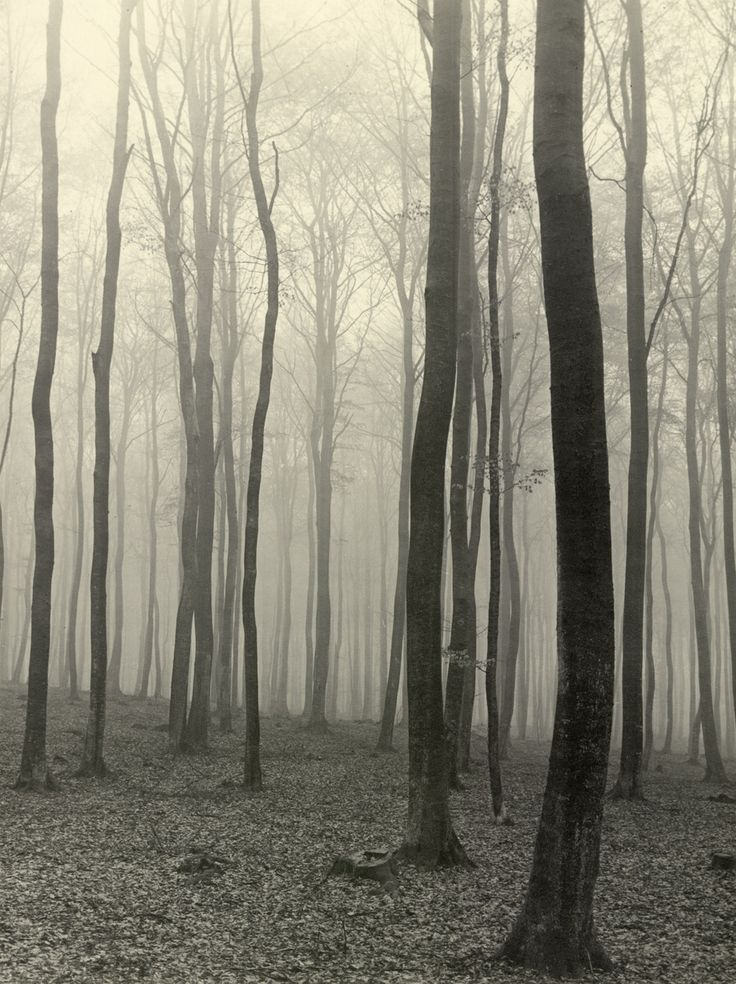 Beech forest in fog    Max Baur, sometime in the '30s: Museums Photography, Fog Photos, Inspiration, Beautiful Trees, Misty Forests, Art, Beech Forests, Misty Natural, Max Baur