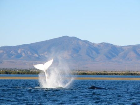 South Australia Each year between July & September Humpback whales are sighted.