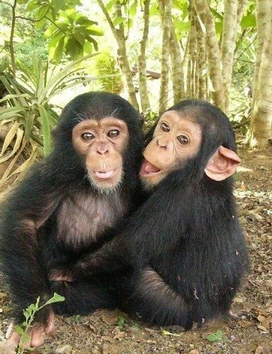 2 chimps just sitting... being chimps.     They're fuzzy and one looks more enthusiastic than the other.
