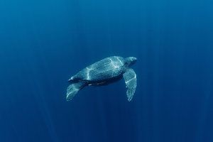 Leatherback turtle (Dermochelys coriacea) Indonesia, Malaysia, Mexico, Costa Rica The Leatherback turtle has declined in both the tropical Atlantic and Pacific. For example, it declined by 95% between 1989 and 2002 in Las Baulas National Park in Costa Rica. This was principally due to turtles being drowned in fishing nest, but property development around the nesting beaches added to pressure. Wildlife numbers plunge by 50% since 1970