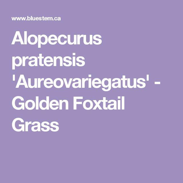 Alopecurus pratensis 'Aureovariegatus' - Golden Foxtail Grass