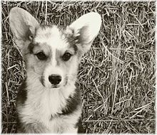 Pembroke Welsh Corgi - Wikipedia, the free encyclopedia