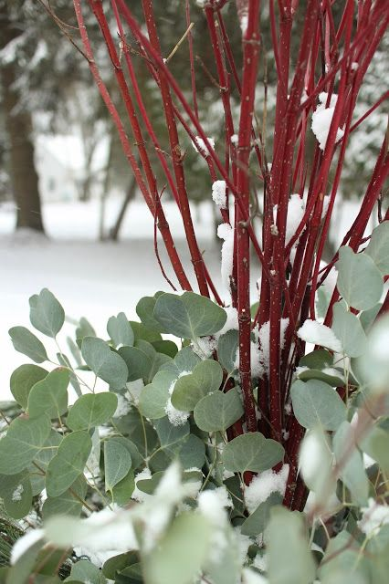 Red twig dogwood and silver dollar eucalyptus
