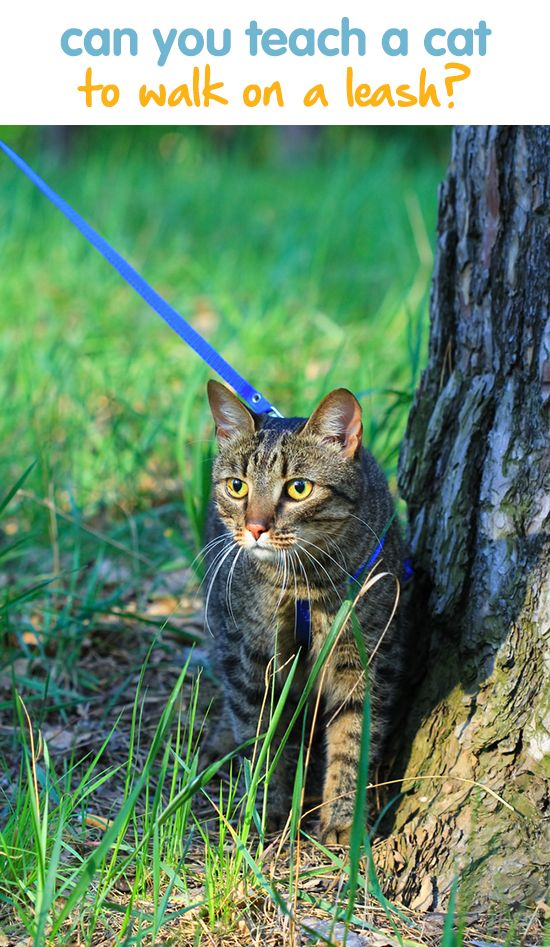how to teach a kitten to walk on a leash