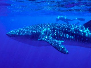 Diving in Thailand at Richelieu Rock with whale sharks - photo courtesy of ScubaZoo