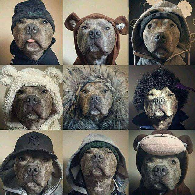Pitbulls are awesome..!!! - 9GAG - Tap the pin for the most adorable pawtastic fur baby apparel! You'll love the dog clothes and cat clothes! <3