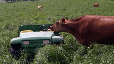 Cool-season forages work to renovate high-traffic areas in pastures. They are used as a cover crop and can be useful when establishing new pastures or when reseeding old stands with more permanent forages