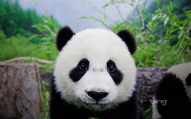 Bing Wallpaper Bing wallpapers panda wallpaper en