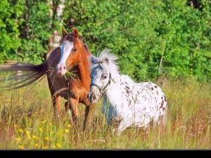 Ældre heste kan foretrække at gå i en mindre flok.