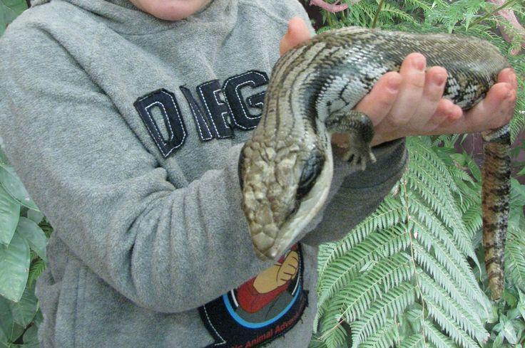 Via Peter M. of Gladesville on website. Blue Tongue Lizard in the backyard - Gladesville NSW (November 2013) #rydneseek