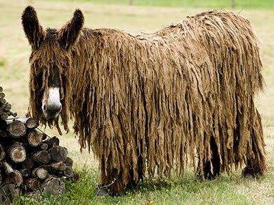 Poitou Donkey. One of the most distinctive donkey breeds, it is also among the rarest and least-known...didnt believe this...but it really does exist.