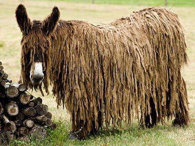 ~~Poitou Donkey. One of the most distinctive breeds