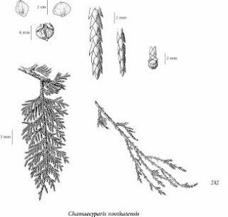Cedar:: Northern White, Brown Bark, Wyldeston Cottages, Teas, Trees, Reddish Brown, Leaves, Medicine, Branches