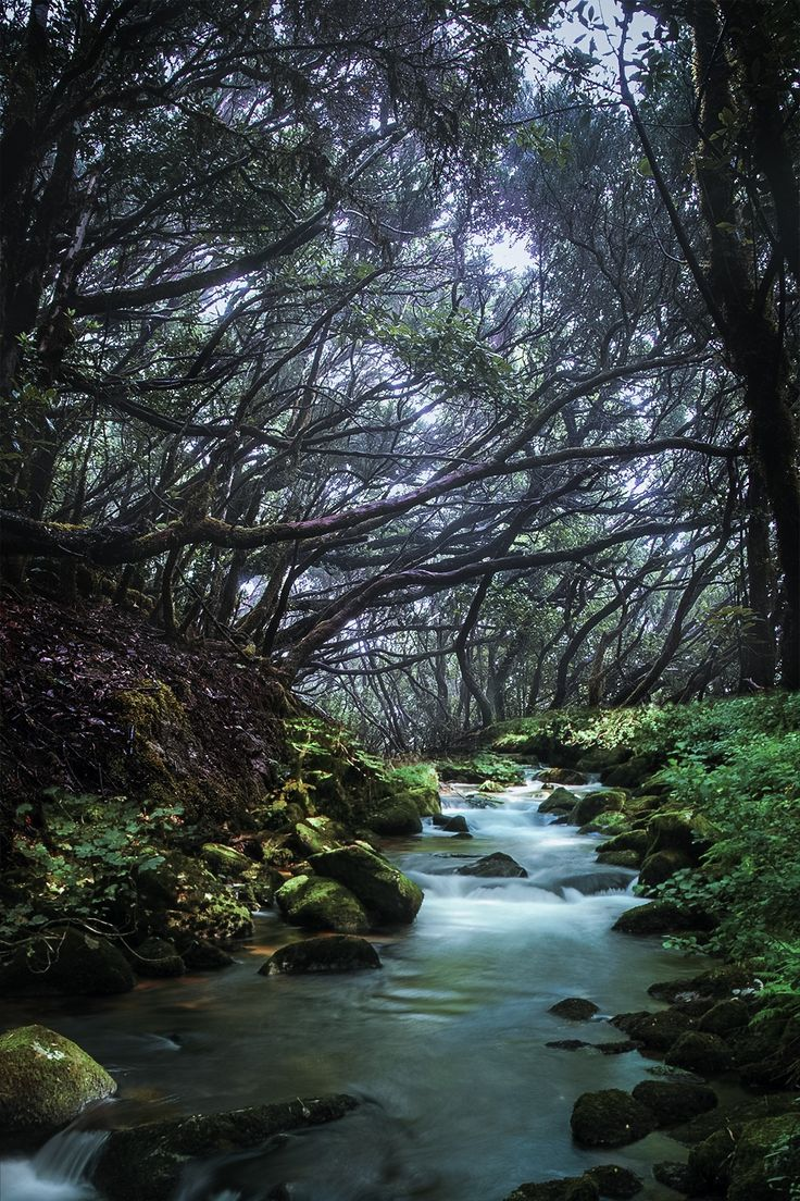 "The Laurisilva of Madeira, within the Parque Natural da Madeira (Madeira Natural Park, Portugal) conserves the largest surviving area of primary laurel forest or ""laurisilva,"" a vegetation type that is now confined to the Azores, Madeira and the Canary Islands.   by Jose Gonzalez"
