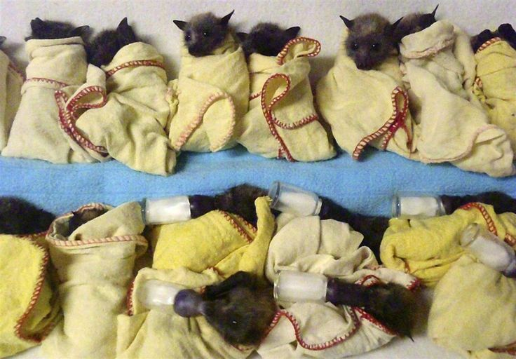 Cooling off Heat-stressed baby Flying Foxes, a type of bat, are lined up to feed at the Australian Bat Clinic in Queensland, Australia on Jan. 9. Thousands of bats near Brisbane and the Gold Coast have succumbed to extreme heat, falling out of trees and dying during a recent heat wave which is setting record high temperatures in Australia.