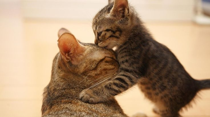 Gambar Kucing Lucu - Kucing Kecil mencium Kucing Besar