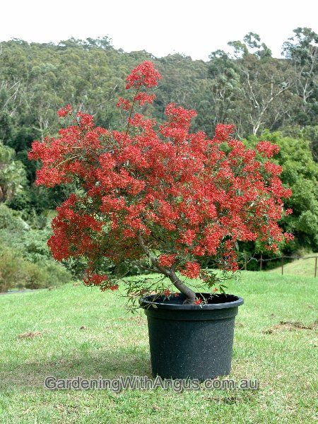 nsw christmas bush - Google Search