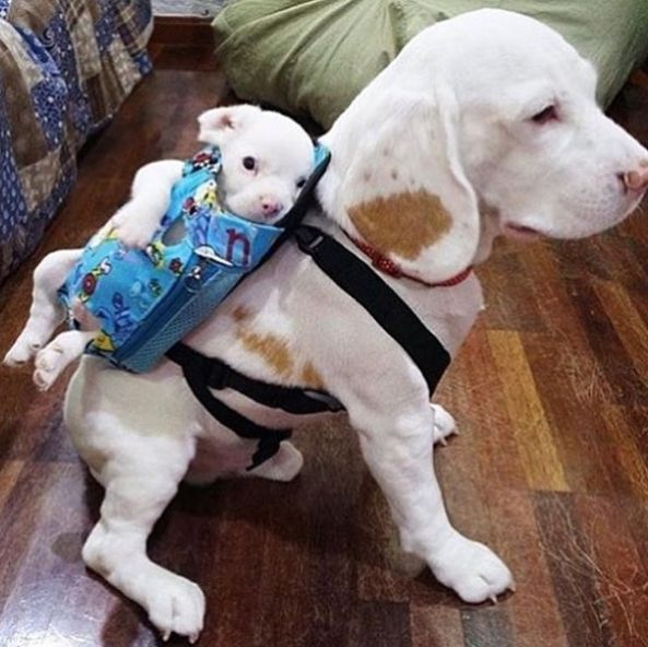 …and some are dogs in bags attached to other dogs. | 17 Pictures That Prove Dogs Are Just Meant To Be Carried, Not Walked