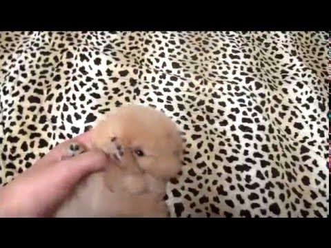 So cute teacup pomeranian for sale! tea cup puppy for sale!! - YouTube