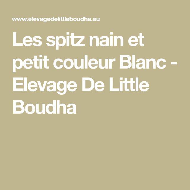 Les spitz nain et petit couleur Blanc - Elevage De Little Boudha