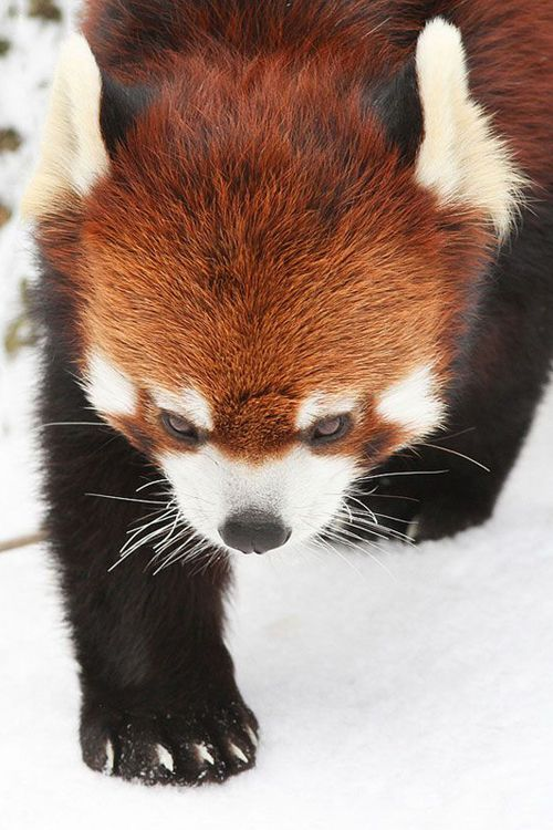 Panda Tracks, Red Panda in the snow by Mark Dumont