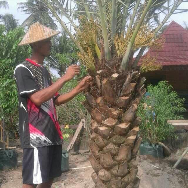 Jual Pohon Palem Kurma Berbuah