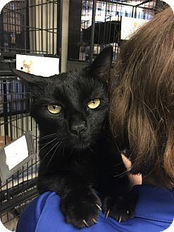 Corona, CA - Domestic Shorthair. Meet Cage 7, a cat for adoption. http://www.adoptapet.com/pet/12014519-corona-california-cat
