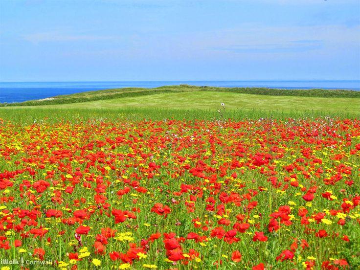 Wildflowers at West Pentire, Crantock, Cornwall