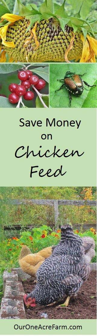 Save money on chicken feed, reduce dependence on industrial monocultures, make your chickens happier and their eggs healthier. Give them access to good habitat, let help in the compost, feed them from the vegetable garden, grow fodder, and raise grubs are just some of the possibilities discussed here. In short, think of chickens as part of a permaculture design.: