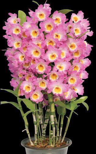 Rey de Onda Akebono, orquídea flores grandes y magníficas. Esta variedad tiene una altura de 18-26 pulgadas.