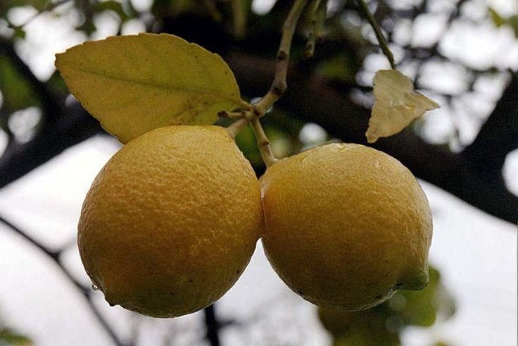 Cómo se poda un limonero para que de mejores frutos