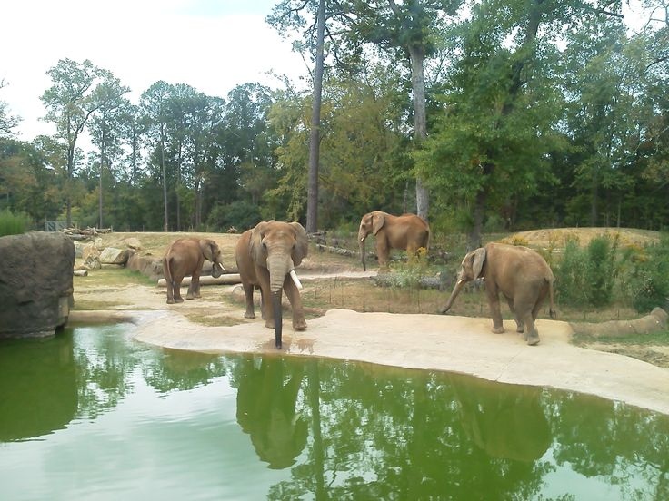 7 best trails of africa images on pinterest the zoo zoos and african cohabitation of four african bull elephants at the birminghamzoo thanks to zookeeper jason miles publicscrutiny Image collections