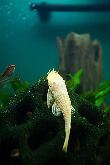 Albino Bristlenose Pleco - Ancistrus - Wikipedia
