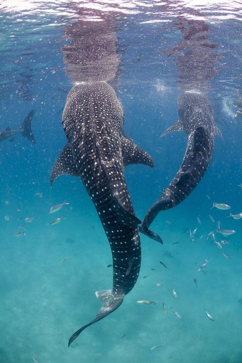 A group of whale sharks. They are amazing creatures !!