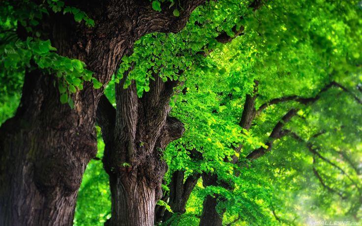 Trees Green Hd Desktop Wallpaper Wallzine Com Tree Images Photo Tree Tree Wallpaper
