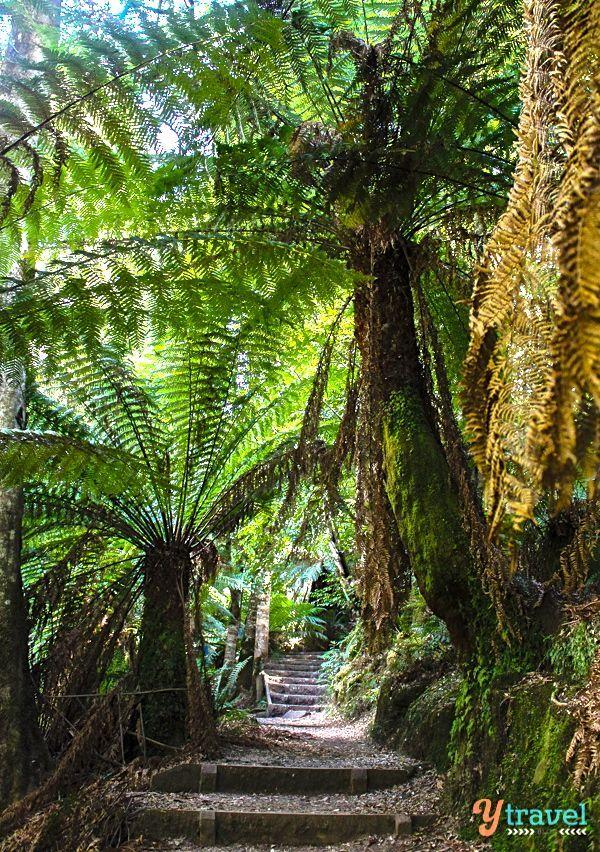 Nature walk to Liffey Falls in Tasmania, Australia