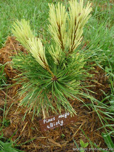 Pinus mugo Misty